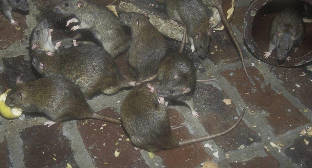 уничтожение крыс в Белгороде